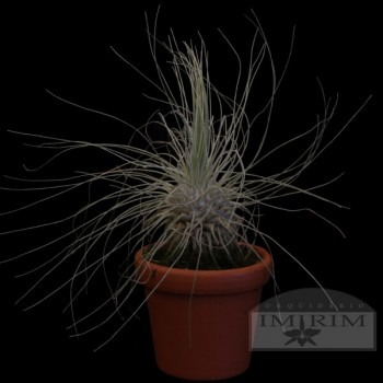 Tillandsia fuchsii f. gracilis - Air Plants