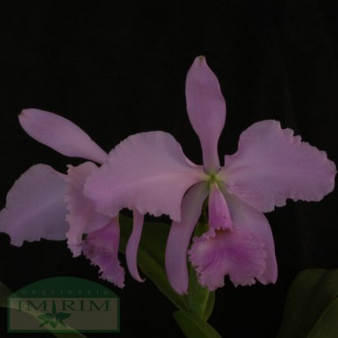 Cattleya warneri var. concolor
