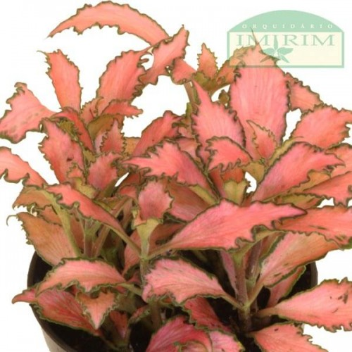 Fittonia Forest Flame 'Mosaic Pink' (Planta Mosaico)