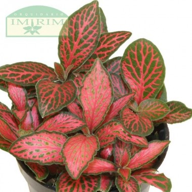 Fittonia 'Jungle Flame' (Planta Mosaico)