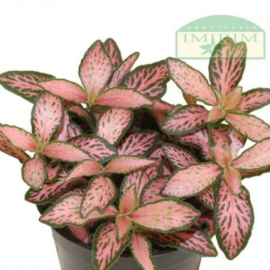 Fittonia Mosaic Pink Forest Flame (Planta Mosaico)