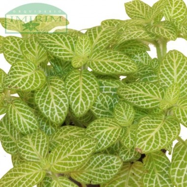 Fittonia 'White Angel' (Planta Mosaico)