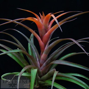 "Tillandsia capitata ""Peach"" - Air Plants"