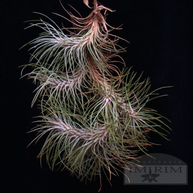 Tillandsia funckiana - Air Plants