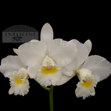 "Cattleya Clark Herman ""Carl"" AM/AOS"