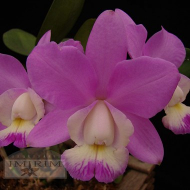 Cattleya Kenny