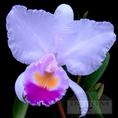 Cattleya trianae 'Junior'