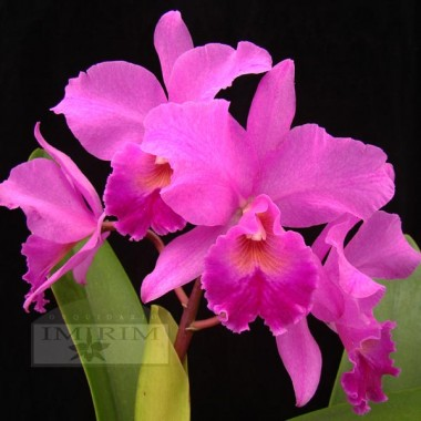 Cattlianthe Portia (ex-Cattleya)