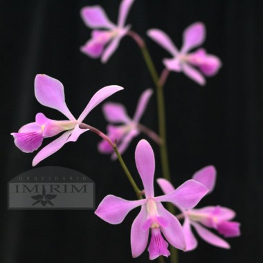 Encyclia ghillanyi