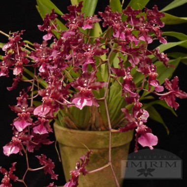 Oncidium Sharry Baby 'Sweet Fragrance' - Orquídea Chocolate