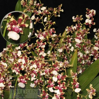 Oncidium Sharry Baby 'Tricolor' - Orquídea Chocolate