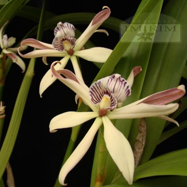 Prosthechea baculus