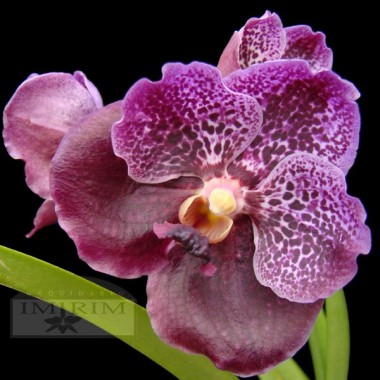 Vanda Black Magic x Vanda Doctor Anek