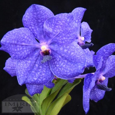 Vanda Pachara Delight 'Pachara' FCC/JOGA